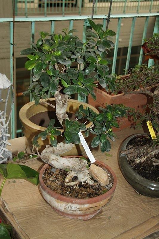 bonsai fruttiferi