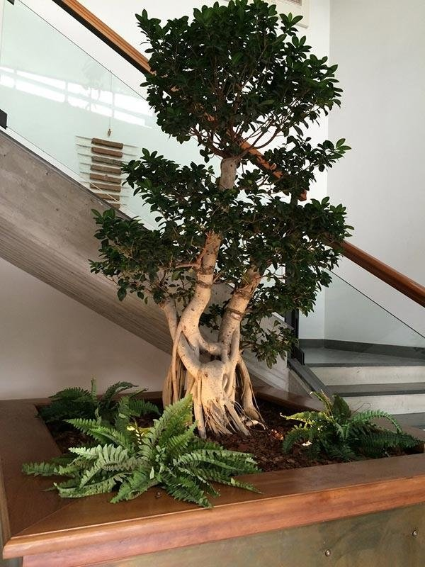 bonsai grande