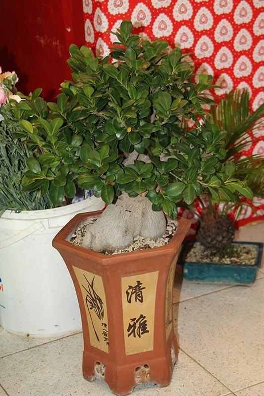 bonsai cinese