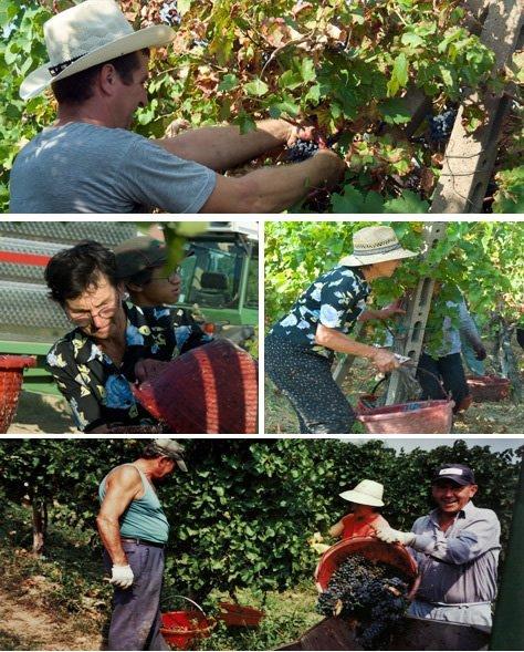 il processo di raccolta delle uve