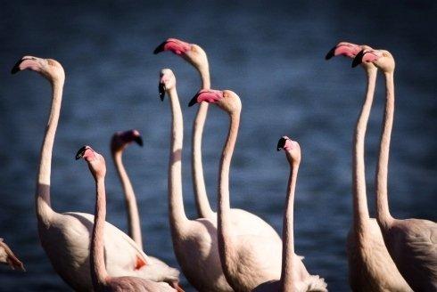 San Teodoro flamingoes