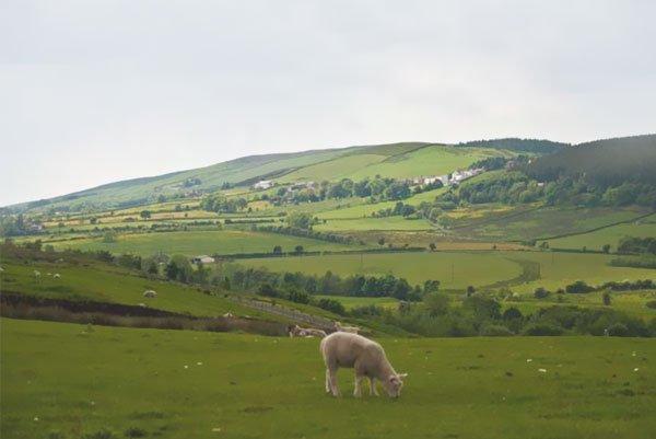 A lamb grazing