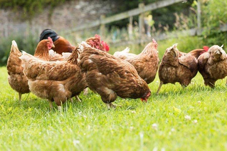 allevamento carni avicole