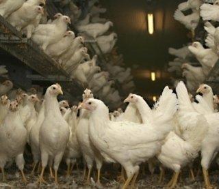 allevamento polli e galline