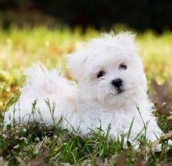 Maltese-puppy-coat