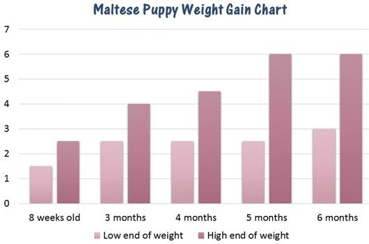 Maltese puppy weight gain chart