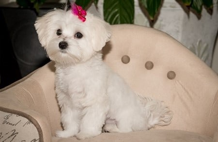 adult-maltese-on-chair