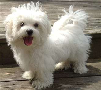 Should I Get A Maltese How To Know If A Maltese Is