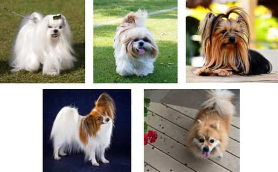 maltese-and-other-toy-sized-dogs