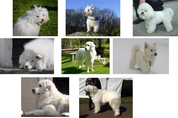 Maltese dog and other white dogs