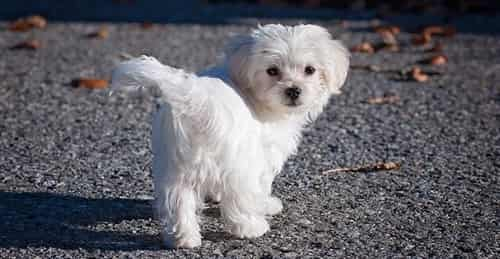 maltese-dog-appearance