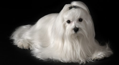 maltese-dog-long-clean-coat