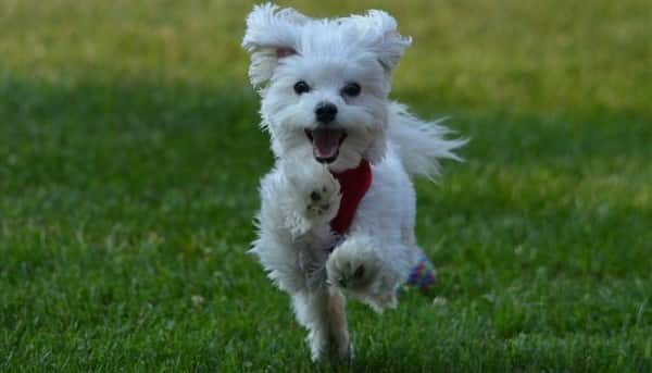 maltese dog. maltese-dog-running maltese dog