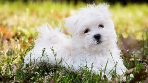 Maltese puppy outside on grass