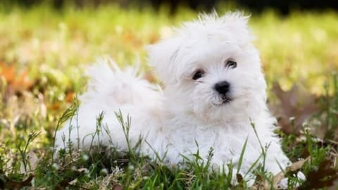 maltese-puppy-8-weeks-old