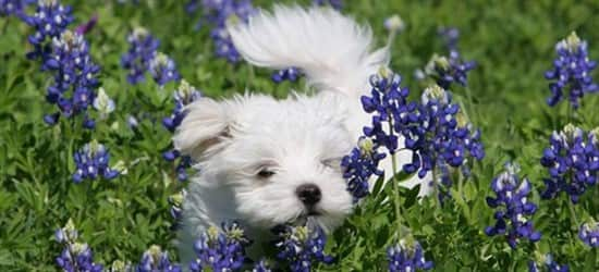 maltese-puppy-in-field-with-purple-flowers
