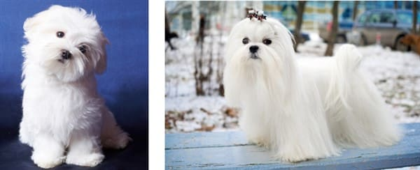 maltese-puppy-vs-adult-coat