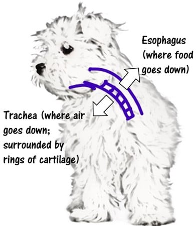 maltese-windpipe-anatomy