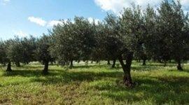 olive per insalata