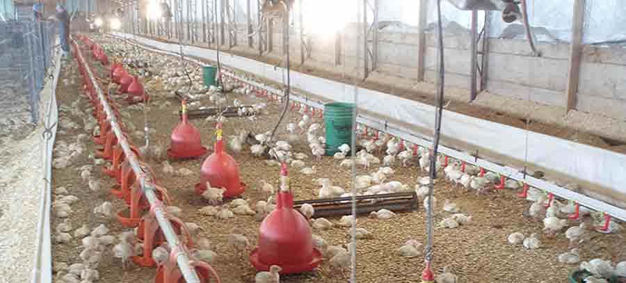 Vitamin Supplement for Poultry boosts performance