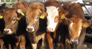 Mancimi per vitelli Agrigento