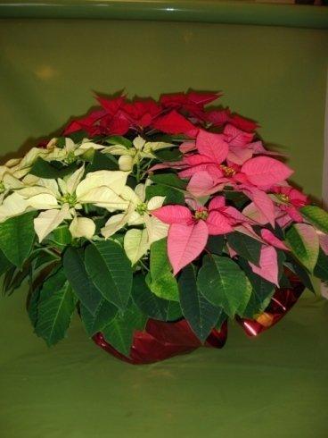 Stella di Natale Tricolor 35 €