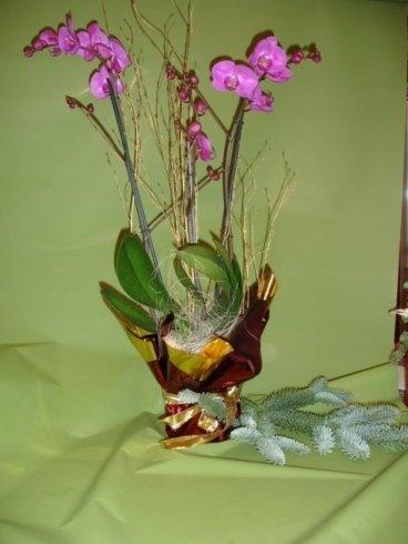 Pianta Orchidea Phaleonopsis 35 €