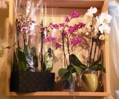 Orchidee, Vendita orchidee, Rieti