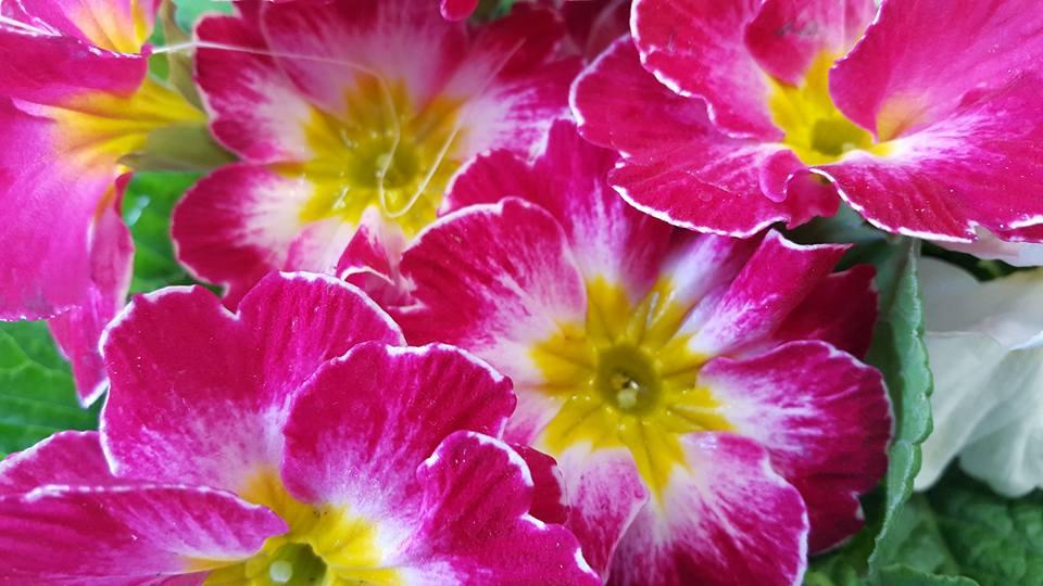 Dei fiori rosa e gialli