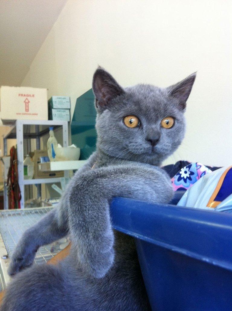 gattino grigio