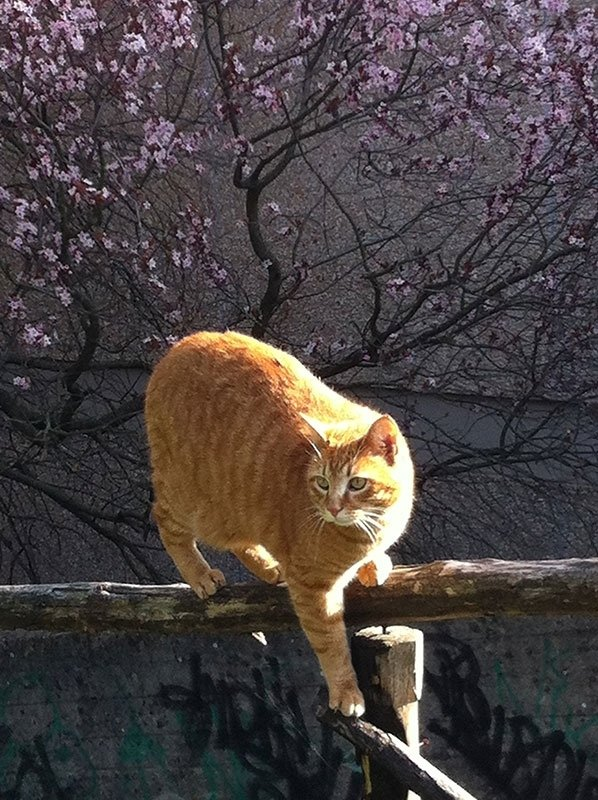 gatto comune