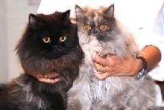 gatti persiani