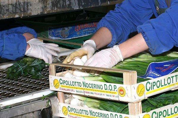 Impacchettando le cipolle