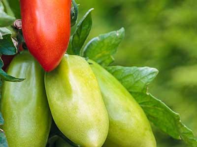 dei pomodori