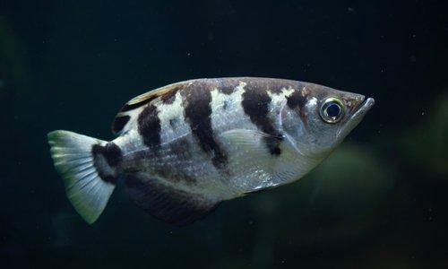 pesce con striature nere