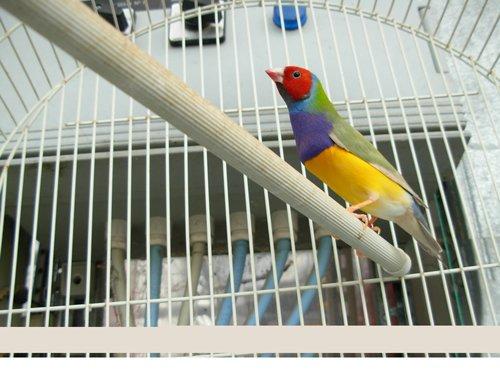 uccello diamantino colorato