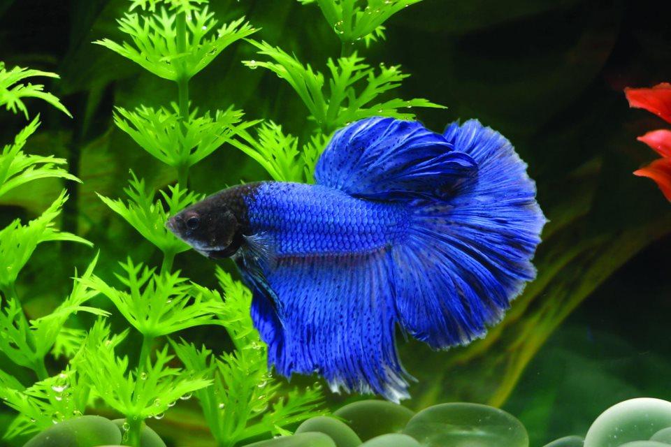 Un pesce con pinne blu