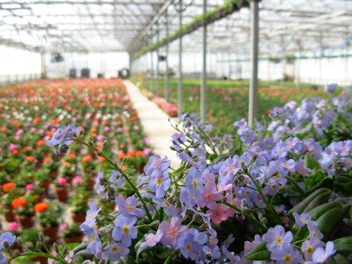 serra con fiori viola