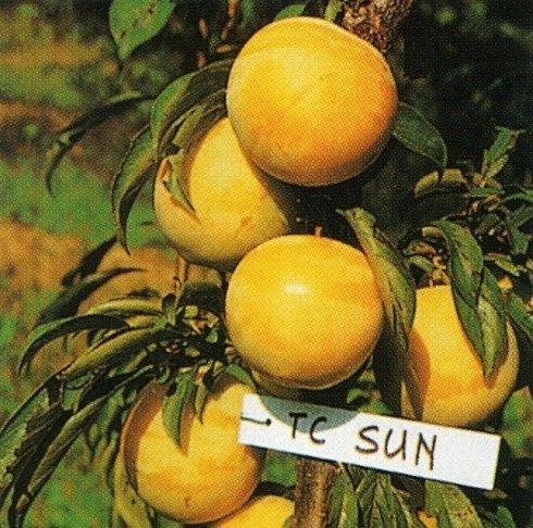 Tc sun