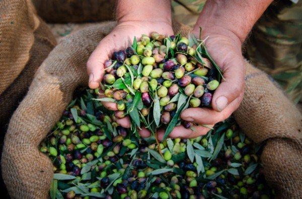 sacca di olive