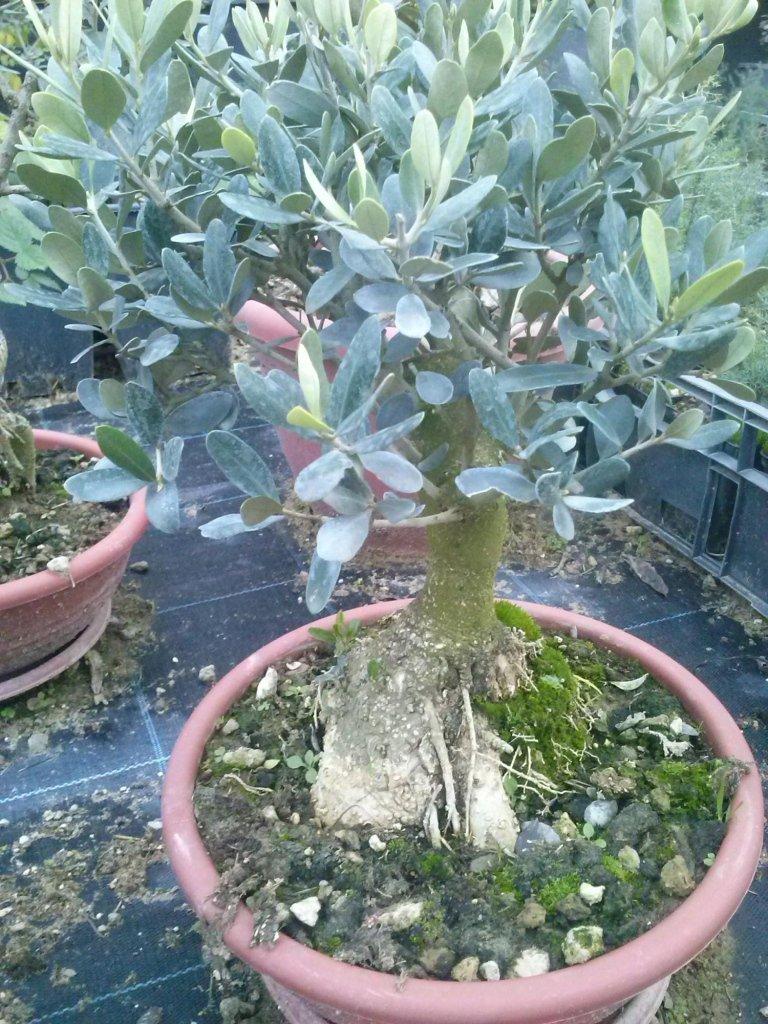 Vivai piante lello grasso vendita piante da frutta for Bonsai da frutto vendita