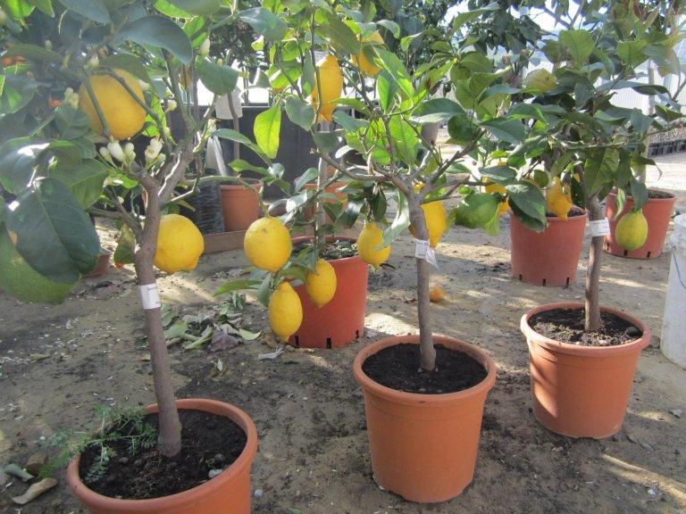 Vivai piante lello grasso vendita piante da frutta for Vendita piante ulivo