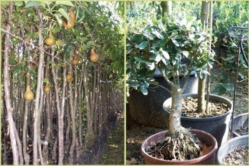 Piante da frutto in vaso tutte passaportate; Bonsai e Prebonsai di ulivo innestati..