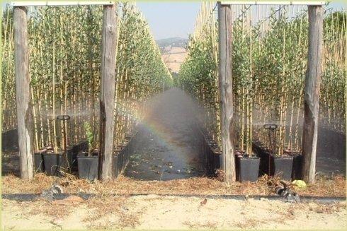 Vasetti di diametro 18 cm per pianta di 2 anni ottenute dal rinvaso della piantina di 1 anno di innesto.