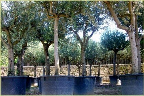 Pianta di olivo franca di vaso dal diametro 30/40.