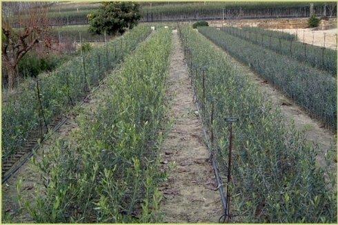 Piantine di olivo di produzione propria di 1 anno di innesto ottenute dal selvatico pronte per il trapianto.