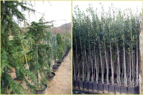 Piante ornamentali e piccoli olivi innestati.