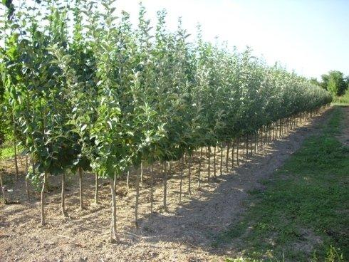 Gelsi ornamentali ravenna vivai piante rosetti le for Alberi frutta vendita
