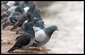 Vermin control - Gateshead - House Pest Control - Pigeon Prevention