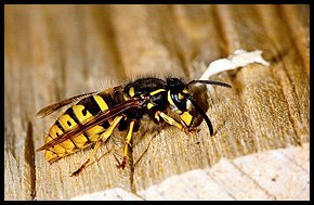 Pest management - Newcastle - House Pest Control - Wasp